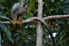 Ecuador monkey